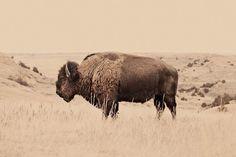 Buffalo on the Plains