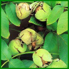 Walnuss, eine schmackhafte Herbstfrucht Wal, Kraut, Permaculture, Sprouts, Vegetables, Kitchen, Garten, Fruit, Fresh