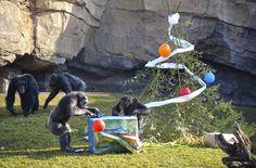 REYES MAGOS 2015 - chimpancés - BIOPARC VALENCIA