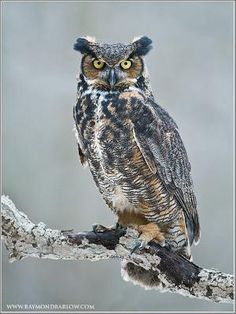 Great Horned Owl by bbooky