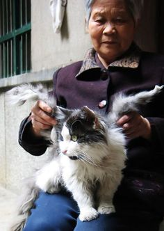 Owner Feng sits with her cat Tom, who has apparently sprouted wing like growts during a recent China heat wave. (Image Source Daily Mail)It's said that every time you hear a bell ring, a cat gets it...