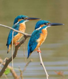 The official website of Rahul Alvares, a herpetologist and wildlife expert from Goa. Find articles on his nature expeditions, wildlife photography, and information on bird watching and other wildlife tours. Pretty Birds, Love Birds, Beautiful Birds, Animals Beautiful, Common Kingfisher, Kingfisher Bird, Australian Birds, Woodland Creatures, Colorful Birds