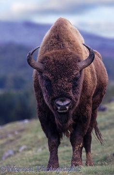 European Bison                                                                                                                                                      More