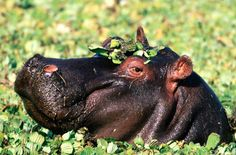 """Hippopotamus - Emotional Depths.   The hippopotamus, sacred in Egyptian and African traditions, is the second largest mammal on earth. Its name means """"Water Horse,"""" and it spends most of its day in water. This animal, very substantial in physical terms, can guide us in grounding ourselves so we can face and dissolve emotional issues (the power of water)"""