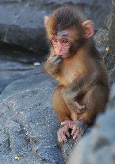 Snow Monkey, Bronx Zoo