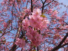 太陽の光を浴びる河津桜