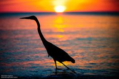 Sunrise and Sunset Photos Capture Stunning Wildlife Silhouettes Picasso Style, Sunset Photos, Endangered Species, Heron, Nature Pictures, Pet Birds, Mother Nature, Animal Rescue, Nature Photography