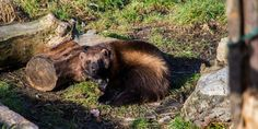 Fish and Wildlife Service - Reconsider Wolverine Protections!