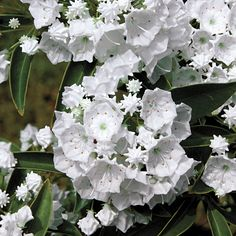 Pristine Mountain Laurel (Kalmia latifolia Pristine) at Wayside Gardens