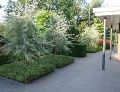 Pyrus salicifolia 'Pendula' (Wilgbladige sierpeer), prachtige boom voor kleine tuin, met grijsgroen blad aan afhangende twijgen, kan in grote bloembak, breed uitgroeiend