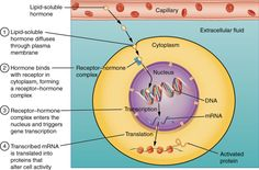 A steroid hormone directly initiates the production of protein in a traget cell…