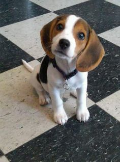 "The beagle is a breed of hunting dog that has been a popular human companion for centuries. The dog is one of the most popular breeds in the United States, and has been famously recreated as Snoopy in the ""Peanuts"" comic strip. In the past, there was another breed of beagle called the pocket beagle #Beagle"
