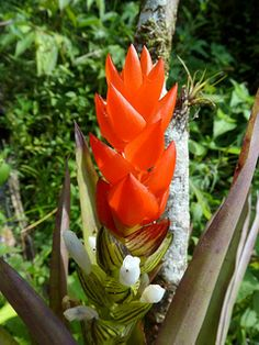 Caring for a Guzmania Bromeliad