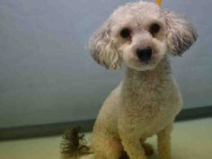 CARTER – A1120353 Super Urgent     MALE, WHITE / GRAY, POODLE TOY, 8 yrs  OWNER SUR – AVAILABLE, NO HOLD Reason PET HEALTH   Intake Date 07/30/2017 **CAME WITH BELLA**