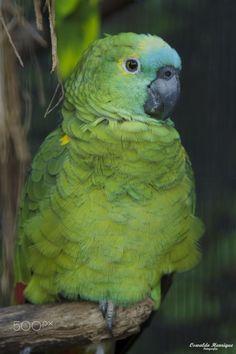 Papagaio Verdadeiro by Oswaldo Henrique on 500px