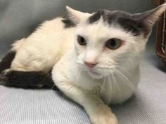 BUFFALO - A1096682 - - Brooklyn  Please Share:*** TO BE DESTROYED 11/16/16 *** CAME IN WITH AMITYVILLE – A1096683 -  Click for info & Current Status: http://nyccats.urgentpodr.org/buffalo-a1096682/