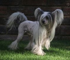 Chinese crested. I so want one. If I had one I could totally make its hair have swoopy bangs and stuff.