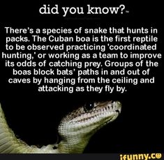 you There's a species of snake that hunts in packs. The Cuban boa is the first reptile to be observed practicing 'coordinated hunting,' or working as a team to improve its odds of catching prey. Groups of the boas block bats' paths in and out of caves by hanging from the ceiling and attacking as they... #animals #animalsnature #theres #species #snake #hunts #packs #the #cuban #boa #first #reptile #observed #practicing #coordinated #hunting #working #team #improve #odds #catching #prey #pic