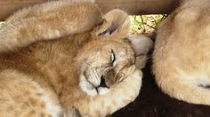 Lion Park Roads, Panther, South Africa, Lion, Journey, Park, Travel, Animals, Places