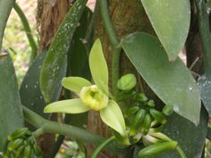 Vanilla Orchids, Care and Maintenance Tips -- Natural vanilla comes from the seed pod of an orchid plant