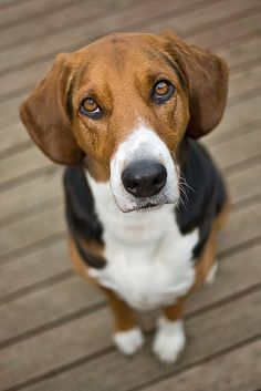 American Foxhound. I love her coat patterns! She would be a good partner in crime for Einstein