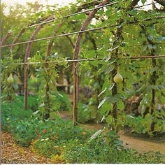Arbors planted with vines or runners like zucchini or gourdes at their feet for a dramatic presentation.