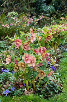 Plant Pairing - DWBlog: Helleborus hybridus (T.Delabroye Hybrids) + Anemone blanda + Saxifraga rotundifolia ( mon jardin, mars 2014)