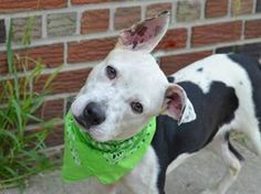 Urgent Part 2 - Urgent Death Row Dogs TO BE DESTROYED - 08/10/14 Brooklyn Center -P  My name is MAX. My Animal ID # is A1008894. I am a male black and white pit bull mix. The shelter thinks I am about 7 MONTHS old.  **$200 donation to the NEW HOPE rescue that pulls, or PRIVATE ADOPTER to be used for vet visits or training (paid directly to service provider.) Please contact Urgent for more information.**  I came in the shelter as a OWNER SUR on 08/01/2014 from NY 11226, owner surrender reason…