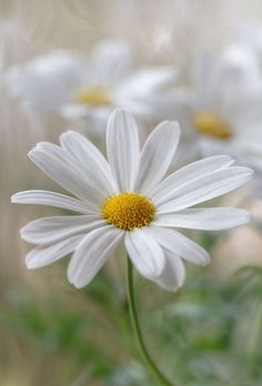Daisy flower Marguerite ( also one of my names ) so sweet. Happy Flowers, My Flower, White Flowers, Flower Power, Beautiful Flowers, Picture Of Daisy Flower, Flower Pictures, Beautiful Gorgeous, Fresh Flowers