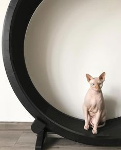 One Fast Cat wheel is not only good for exercise, but also for posting after a long work out! Kittens Cutest, Cute Cats, Funny Cats, Cat Exercise Wheel, Unique Cats, Sleepy Cat, Kitty, Animals, Pretty Cats