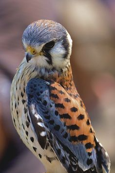 American Kestrel by Murray MacLeod) aka Sparrow Hawk ^