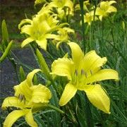 Hemerocallis 'Hyperion'. Click image to learn more, add to your lists and get care advice reminders each month.    Other names: Daylily 'Hyperion'    Genus: Hemerocallis    Variety or cultivar: 'Hyperion' _ 'Hyperion' is an evergreen perennial with a clump-forming habit. It has light-green foliage and erect stems. In summer it bears a succession of yellow flowers with wavy, reflexed petals that open in the afternoon. Day Lilies Care, Daylily Garden, Beautiful Flowers Garden, Yellow Flowers, Stems, Evergreen, Perennials, Orchids, Bears