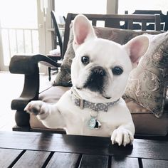 More About The Adaptable French Bulldog Pup Health White French Bulldog Puppies, White French Bulldogs, French Bulldog Facts, Cute Puppies, Cute Dogs, Dogs And Puppies, Doggies, Frenchie Puppies, Belle Photo