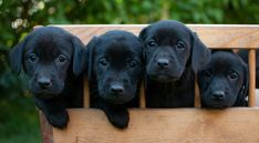 41 Best Labrador images in 2018 | Labrador, Dogs, Lab puppies