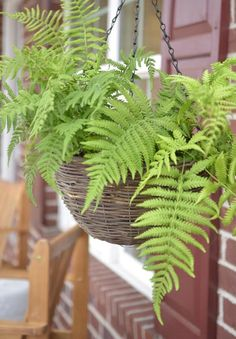 Image result for potted, hanging, boston fern