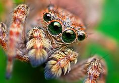 Jumping Spiders, photographed by Thomas Shahan