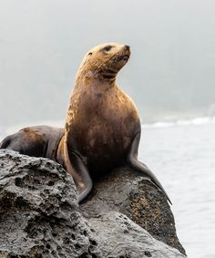 Would like to meet some of these guys :)  Sea Lion - West Coast Trail