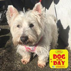 Maddie West Highland White Terrier, Great Yarmouth, Westies, Dog Friends, Dog Days, Goats, Animals, Animaux, Animal
