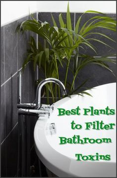 best plants to filter bathroom toxins - A lot has been said about the benefits that come with keeping houseplants, especially when it comes to their ability to naturally filter toxins out of the air in our homes. Most of us keep our houseplants where we, and our guests, can easily enjoy them– the common rooms of the home. However, the bathroom is the one room in the house that can benefit the most from having a houseplant call it home...