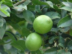 Almost anyone can grow Mexican key lime trees if you have the right information. Take a look at the growth and care of key lime trees in the following article and see if this lime tree variety is right for you.