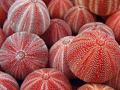 Spirit of the sea urchin: care of feet, grounding, evolution, new developments… Patterns In Nature, Textures Patterns, Coral, Shell Beach, Red Sea, Pics Art, Ocean Life, Shades Of Red, Marine Life