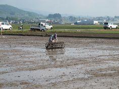 【御田植】平成24年5月26日、伝統的稲作行事『御田植』(主催・巴会)にて。農機具「コロガシ」を使い、稲を植える目印をつける作業の様子①です。