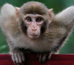 Antiviral compound protects monkeys from Ebola | #LittleNews Monkey Pictures, Animal Pictures, List Of Animals, Cute Animals, Primates, Mammals, Different Types Of Monkeys, Rhesus Monkey, Sea Monkeys