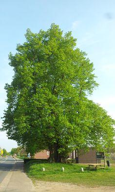 sambeek | hollandse linde in het brabantse dorp sambeek, gelegen aan de maas bij boxmeer | met een omtrek van 797cm niet alleen de dikste linde van ons land maar ook de oudste: zijn leeftijd wordt geschat op 350 à 500 jaar | daarmee behoort hij in elk geval tot het selecte groepje bomen van meer dan 350 jaar in ons land: hiertoe kunnen slechts een handjevol eiken, linden en tamme kastanjes en enkele exemplaren van andere soorten worden gerekend