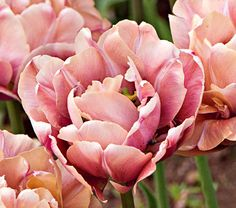 Tulip Champagne Diamond from White Flower Farm. Their semi-double to double, peony-like flowers are long lasting. Tulips Garden, Daffodils, Garden Plants, Garden Bulbs, Gardening Vegetables, Flower Beds, Flower Art, Tulip Wedding, White Flower Farm