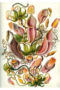 """from """"Art Forms in Nature"""", Ernst Haeckel"""