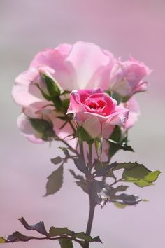 pink roses so pretty