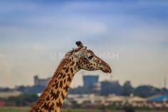 https://flic.kr/p/v5KfwE | Giraffe & Nairobi Skyline | Nairobi National Park, Kenya www.AfricaSafari.IN #magicalkenya