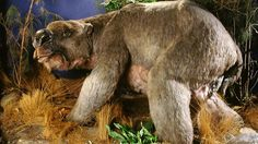 Diprotodon - A rare fossil of the largest marsupial to have ever lived from the Ice Age has been discovered at a remote cattle station in Australia's Northern Territory.