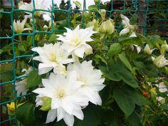 ПЯТЬ ПОДСКАЗОК ПО ВЫРАЩИВАНИЮ КЛЕМАТИСА  Вам иногда кажется, что об особенностях растения - вы знаете абсолютно всё! Вот так думала раньше и я! Но, когда я начала сталкиваться с некоторыми проблемами … Wedding Boxes, Beautiful Flowers, Bouquet, Plants, Outdoor, Sodas, Garten, Outdoors, Pretty Flowers